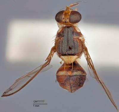 Bactrocera (Bactrocera) allwoodi