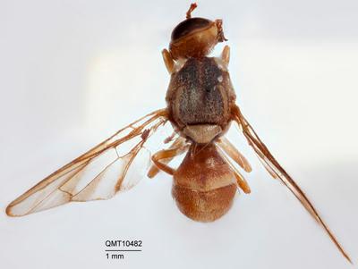 Bactrocera (Bactrocera) repanda