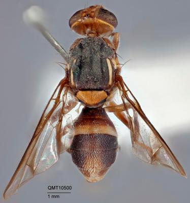 Bactrocera (Bactrocera) curreyi
