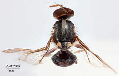 Bactrocera (Bactrocera) parafrauenfeldi