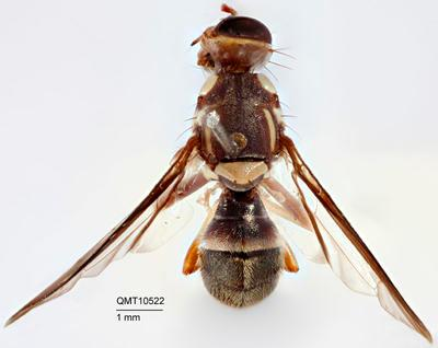 Bactrocera (Bactrocera) nigrovittata