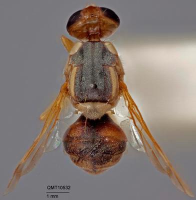 Bactrocera (Bactrocera) anfracta