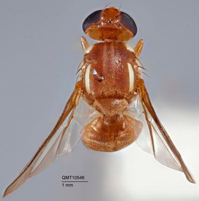 Bactrocera (Bactrocera) daruensis