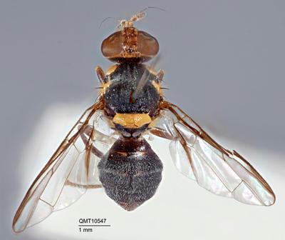 Bactrocera (Bactrocera) diospyri