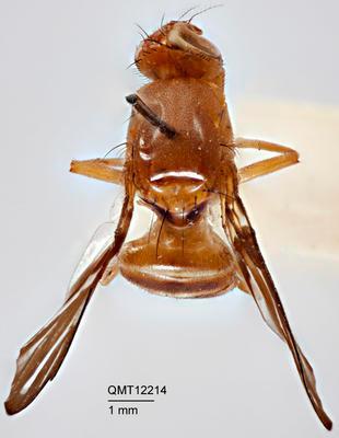 Taeniorioxa quinaria