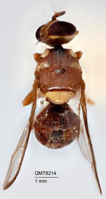 Dacus (Neodacus) bellulus