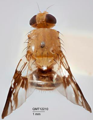 Termitorioxa exleyae