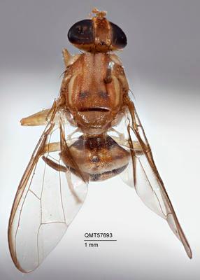 Bactrocera (Hemizeugodacus) ektoalangiae