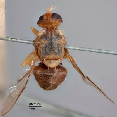 Bactrocera (Bactrocera) bancroftii
