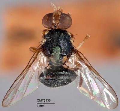 Bactrocera (Zeugodacus) nigra