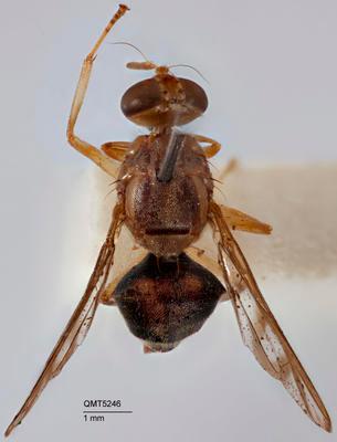 Bactrocera (Bactrocera) manskii