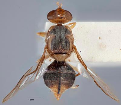 Bactrocera (Bactrocera) endiandrae