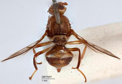 Bactrocera (Afrodacus) brunnea