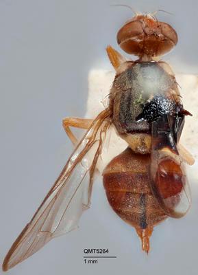 Bactrocera (Javadacus) aberrans