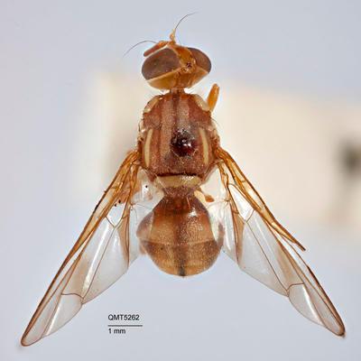Bactrocera (Hemizeugodacus) aurea