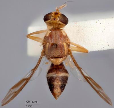 Bactrocera (Bactrocera) alyxiae