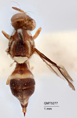 Bactrocera (Bactrocera) notatagena