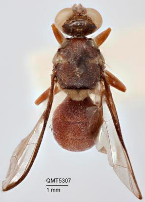 Dacus (Neodacus) signatifrons