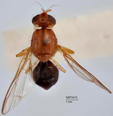Bactrocera (Bactrocera) phaleriae