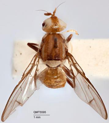 Bactrocera (Bactrocera) hispidula