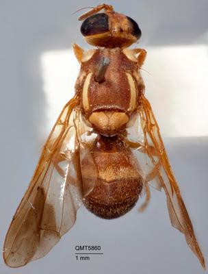 Bactrocera (Bactrocera) amplexiseta