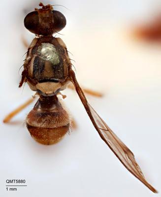 Bactrocera (Sinodacus) strigifinis