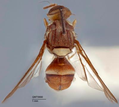 Bactrocera (Bactrocera) bidentata
