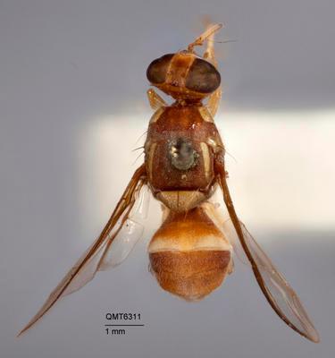 Bactrocera (Bactrocera) aquilonis