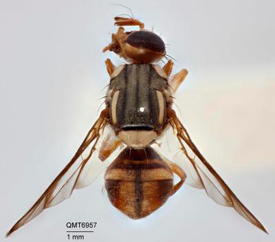 Bactrocera (Bactrocera) pseudodistincta