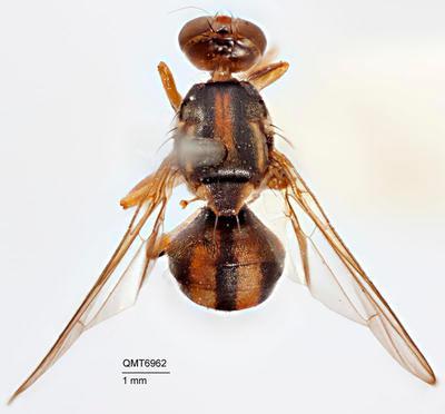 Bactrocera (Bactrocera) trifaria