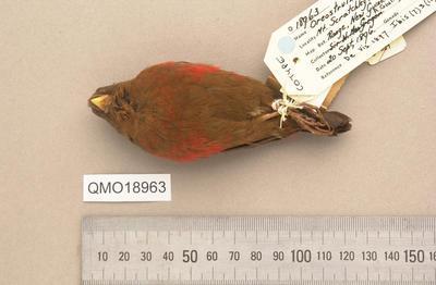 Oreostruthus fuliginosus