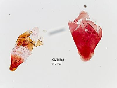 Ancepaspis longicauda