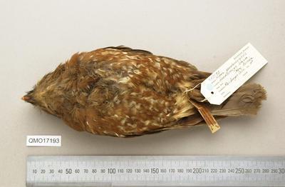 Ninox theomacha goldii