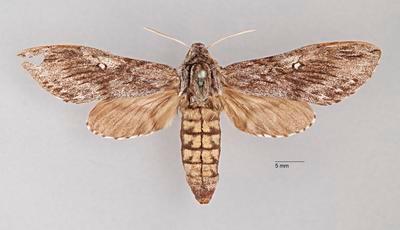 Coenotes eremophilae