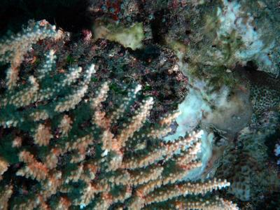 Acropora clathrata
