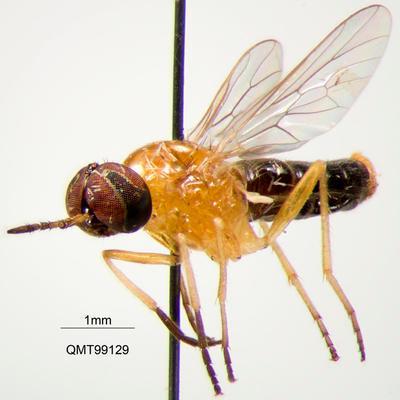 Agapophytus discolor