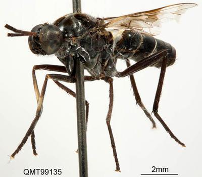 Agapophytus decorus