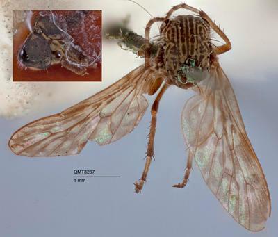 Neodialineura striatithorax