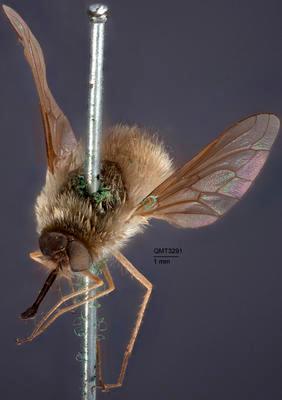 Systoechus pallidus
