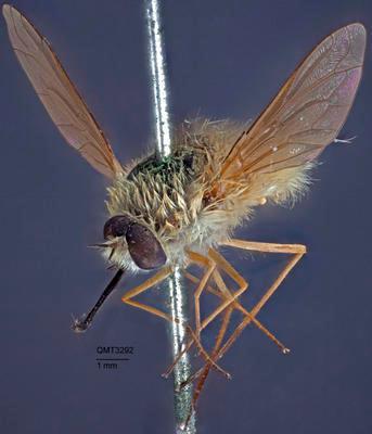 Systoechus cinctiventris