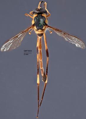 Systropus flavoornatus