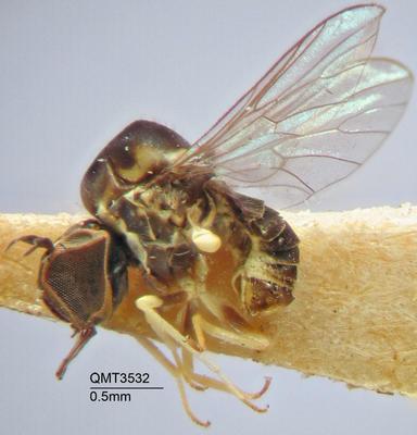 Cyrtosia parvissima