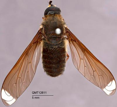 Comptosia heliophila