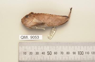 Erisphex aniarus