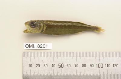 Atherinomorus lacunosus