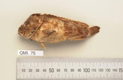 Paraploactis trachyderma