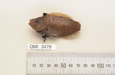 Pristotis obtusirostris