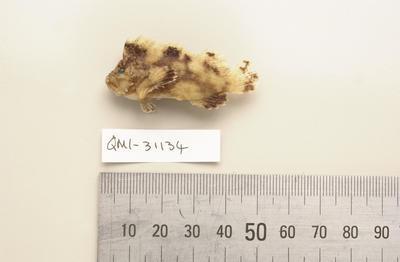 Cocotropus microps