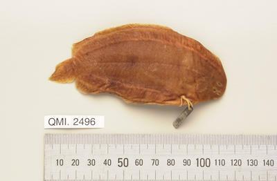 Pardachirus hedleyi