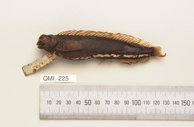 Salarias fasciatus